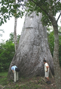 "The ceiba tree is one of the<BR> tallest in the Peruvian rain forest.""><img src="